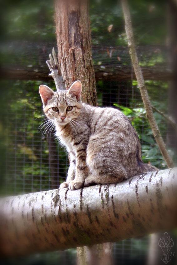 chat sauvage européen photos